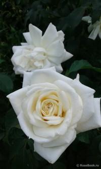 Роза Ильзе Крон