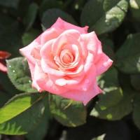 Роза Пикуба