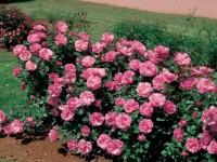 Роза Плей Роуз