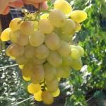 Виноград Восторг (столовый)