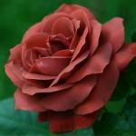"""Роза """"Терракота"""""""