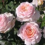 Роза Андре Ле Нотре