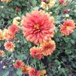 Хризантема корейская Дубок