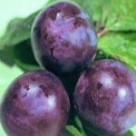 Сливово-вишневый гибрид (СВГ) Бета