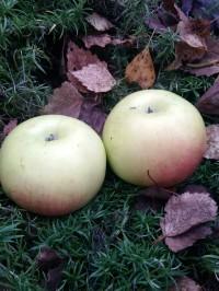 Яблоня Иверо