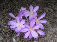 Безвременник (колхикум) киликийский 'Purpureum'