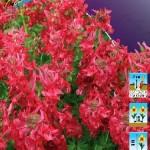 Хохлатка (Corydalis) Г.П. Бакер