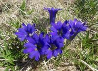 Горечавка алтайская (синяя Пф)
