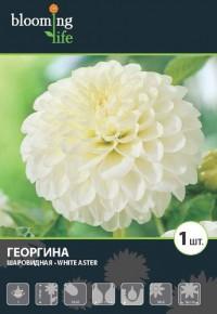 Георгина Уайт Астер