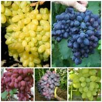 Набор Виноград 1