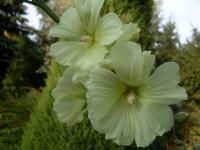 Шток-роза морщинистая (Мальва морщинистая)
