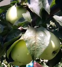 Яблоня Аркад желтый (Аркад белый длинный)