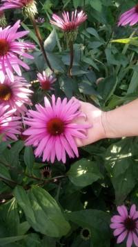 Эхинацея крупноцветковая