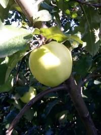 Яблоня Чудное (карлик)