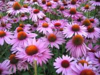 Эхинацея пурпурная