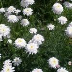 Персидская ромашка (пиретрум) «Бело-розовая махровая»
