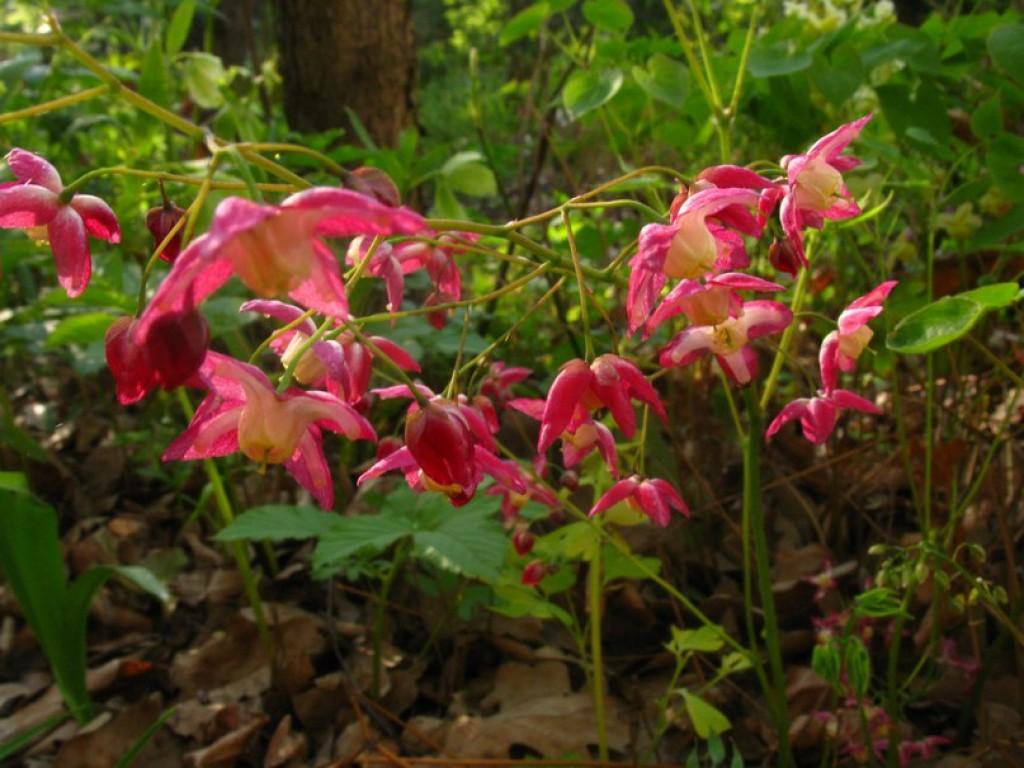 Горянка растение описание