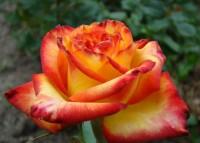 Роза Тукан