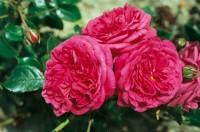 Роза Лагуна (малиновая крупная)