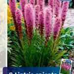 Лиатрис спиката фиолетово-голубая