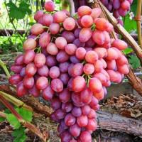 Виноград Лучистый (кишмиш)