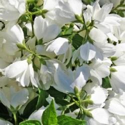 Чубушник Мон Блан  (взрослое растение)