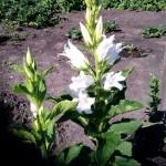 Колокольчик крапиволистный белый