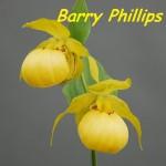 Циприпедиум (Башмачок) Барри Филлипс