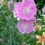 Сидальция мальвоцветковая «Кандигёл»