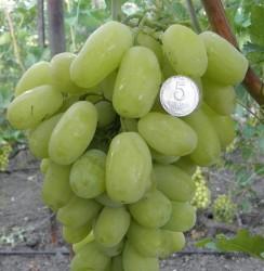 Виноград Сицилия (столовый)