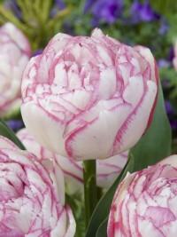 Тюльпан Дабл Тач