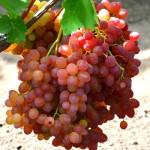 Виноград Велес (бессемянный)