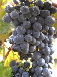 Виноград Мерседес (бессемянный) (столовый)