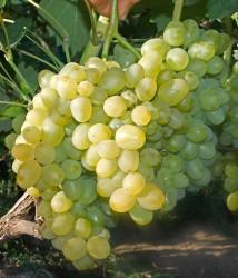 Виноград Супер Экстра (столовый)