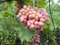 Виноград Ливия (столовый)
