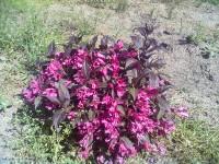 Вейгела нана пурпурея