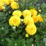 Хризантема корейская Мишаль (Желтый Помпон)