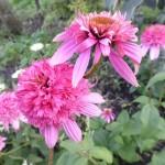 Эхинацея пурпурная «Разаматс»