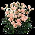 Роза спрей Свит Сара