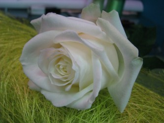 """Роза """"Айстленд"""""""