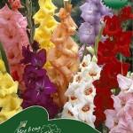 Гладиолус крупноцветковый микс