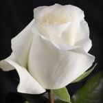 Роза Анастасия