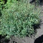 Ива пурпуровая «Нана» (Salix purpurea)