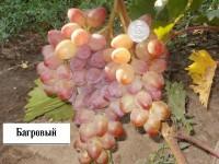 Виноград Багровый (столовый)