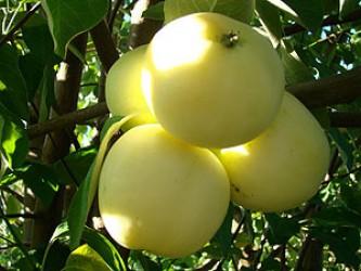 """Яблоня  """"Белый налив"""""""