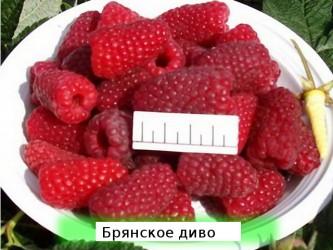 "Малина ""Брянское диво"" рем."