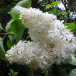 Сирень обыкновенная белая
