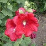 Шток-роза (Мальва)  «Бордовая»
