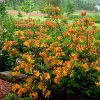 Рододендрон листопадный Голден лайт