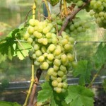 Виноград Сеянец Тукая Шарова (столовый)
